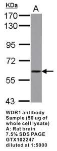 Anti-WDR1 Rabbit Polyclonal Antibody