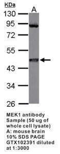 Anti-MAP2K1 Rabbit Polyclonal Antibody