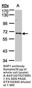 Anti-PTPN6 Rabbit Polyclonal Antibody