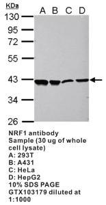 Anti-NRF1 Rabbit Polyclonal Antibody