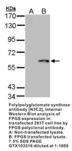 Anti-MTRF1L Rabbit Polyclonal Antibody
