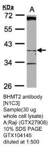 Anti-L1CAM Rabbit Polyclonal Antibody
