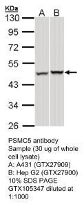 Anti-CYP7B1 Rabbit Polyclonal Antibody