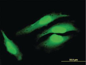 Anti-COPS8 Mouse Polyclonal Antibody