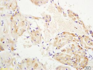 Anti-WNT10B Rabbit Polyclonal Antibody