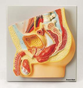 Eisco® Human Male Reproductive System Model