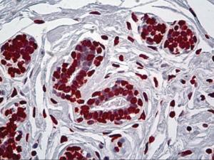 Immunohistochemistry of human breast tissue stained using EN1 Monoclonal Antibody.