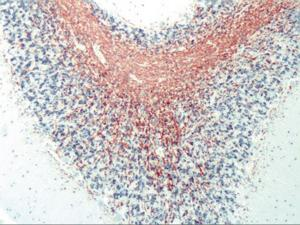 Immunohistochemistry of human myelin tissue stained using MBP Monoclonal Antibody.