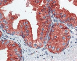Immunohistochemistry of human prostate tissue stained using CD9 Monoclonal Antibody.