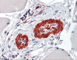 Immunohistochemistry of human vessels tissue stained using ACTA2 Monoclonal Antibody.
