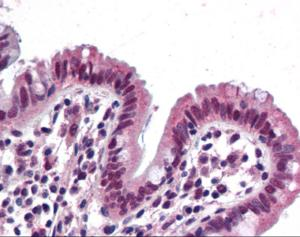 Immunohistochemistry of human colon tissue stained using SMARCB1 Monoclonal Antibody.
