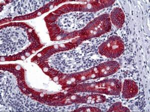 Immunohistochemistry of human Intestine tissue stained using Cytokeratin Type II Monoclonal Antibody.