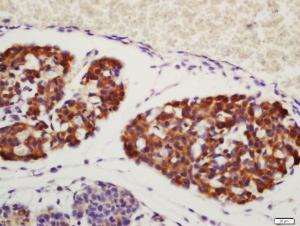 Anti-AREG Rabbit Polyclonal Antibody