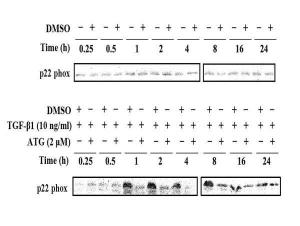 Anti-CYBA Rabbit Polyclonal Antibody
