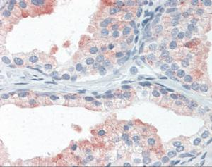 Human prostate tissue stained with LAMP2 Antibody at 10 ug/mL followed by biotinylated anti-mouse IgG secondary antibody, alkaline phosphatase-streptavidin and chromogen.