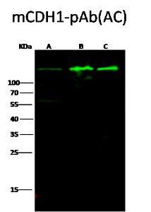 Anti-CDH1 Rabbit Polyclonal Antibody