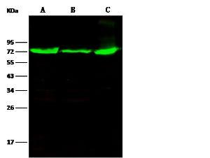Anti-THOP1 Rabbit Polyclonal Antibody