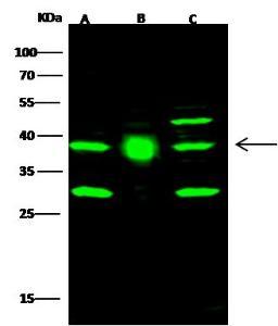 Anti-FDPS Rabbit Polyclonal Antibody