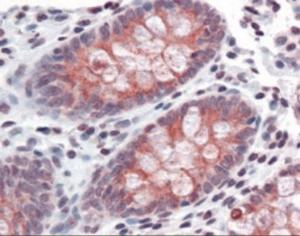 Immunohistochemistry staining of TMPRSS4 in human colon tissue using TMPRSS4 Antibody.