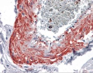 Immunohistochemistry of human vessel tissue stained using MYOC Monoclonal Antibody.