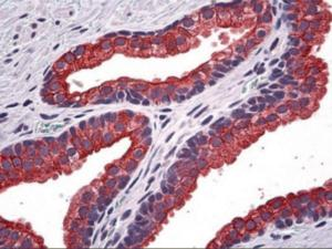 Immunohistochemistry of human prostate tissue stained using NPR2 Monoclonal Antibody.