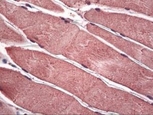 Immunohistochemistry of human skeletal muscle tissue stained using PIM1 Monoclonal Antibody.
