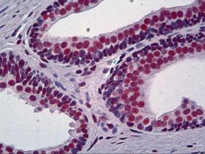 Immunohistochemistry of human prostate tissue stained using DNA-PKcs Monoclonal Antibody.