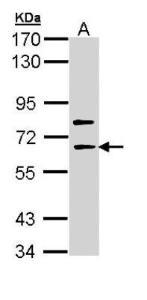 Anti-SHC4 Rabbit Polyclonal Antibody