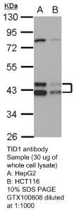 Anti-E7 Rabbit Polyclonal Antibody