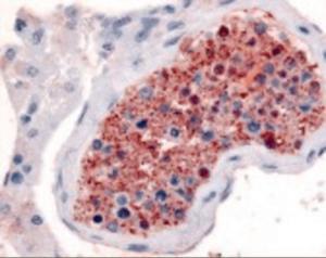 Immunohistochemistry staining of Frizzled 9 in testis tissue using Frizzled 9 Antibody.