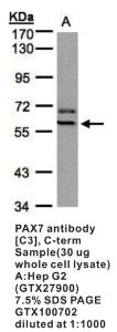 Anti-PAX7 Rabbit Polyclonal Antibody