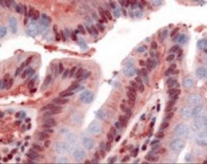 Immunohistochemistry staining of GPR160 in colon, epithelium tissue using GPR160 Antibody.