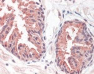 Immunohistochemistry staining of MCTS1 in prostate tissue using MCTS1 Antibody.