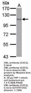 Anti-CBL Rabbit Polyclonal Antibody