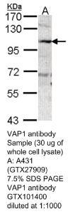 Anti-CD19 Rabbit Polyclonal Antibody