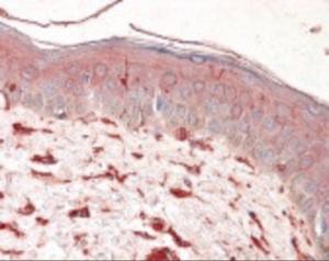 Immunohistochemistry staining of Vimentin in skin tissue using Vimentin monoclonal Antibody.