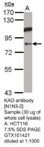 Anti-AOC1 Rabbit Polyclonal Antibody