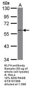 Anti-KLF4 Rabbit Polyclonal Antibody