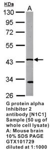 Anti-TRIM33 Rabbit Polyclonal Antibody
