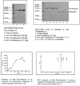 Fig 1:SDS-PAGE (15%) of Rat Procathepsin K (PK). Fig 2-SDS-PAGE (15%) of activation of Rat PK.Fig 3: Activation of Rat PK as monitored by BioVision's Cathepsin K activity assay kit. Fig 4:SEC analysis of Rat PK using a Superdex 200 HR 10/30 column at 0.5 ml/min in 50 mM Tris & 0.25 M NaCl pH 7.5