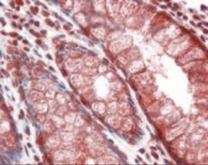Immunohistochemistry staining of Mucin 2 in colon: formalin-fixed, paraffin-embedded (ffpe)Mucin 2 Monoclonal Antibody.