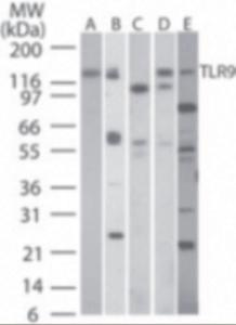 Western Blot analysis of TLR9 in A) human PBMC, B) human intestine ,C) mouse intestine , and D) rat intestine tissue lysatesusing TLR9 monoclonal antibody (3u/ml). Lane E shows TLR9 monoclonal antibody tested at 5u/ml in human MCF7 cell lysate.
