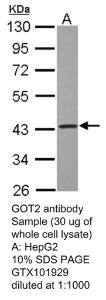 Anti-SOX17 Rabbit Polyclonal Antibody