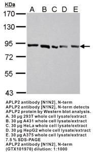 Anti-APLP2 Rabbit Polyclonal Antibody