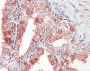 Immunohistochemistry staining of GPR27 in human prostate tissue using GPR27 Antibody.