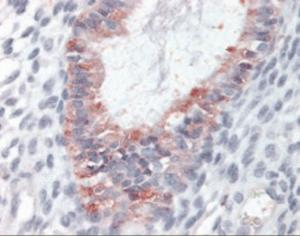 Immunohistochemistry staining of GPR27 in human uterus tissue using GPR27 Antibody after heat-induced antigen retrieval.