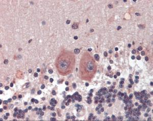Immunohistochemistry of human cerebellum tissue stained using HDAC3 Monoclonal Antibody.