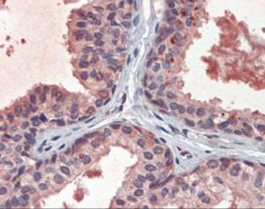 Immunohistochemistry of human prostate tissue stained using EPHB2 Monoclonal Antibody.