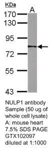 Anti-SIGLEC9 Rabbit Polyclonal Antibody