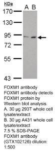 Anti-SHC1 Rabbit Polyclonal Antibody